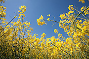 Ground eye view looking up in field of yellow rapeseed in flower (canola) showing stems and flowerhead under a blue sky on a sunny day. Seven Springs, Gloucestershire, England..Rapeseed (Brassica napus), also known as rape, oilseed rape, rapa, rappi, rapaseed and (in the case of one particular group of cultivars, canola). Rapeseed is grown for the production of animal feed, vegetable oil for human consumption, and biodiesel