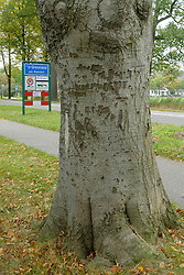 160 jaar oude bomenlaan in s-Graveland wordt gekaptfelling a 160 years old lanefelling a 160 years old lane