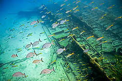 Schooling Bermuda or Yellow Chubs, Kyphosus sectatrix or incisor, and yellowtail snappers, Ocyurus chrysurus, over Sugar Wreck, the remains of an old sailing ship that grounded many years ago, West End, Grand Bahamas, Caribbean, Atlantic Ocean