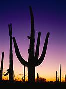 Saguaros silhouetted at dusk, Tucson Mountain Unit, Saguaro National Park, Arizona.
