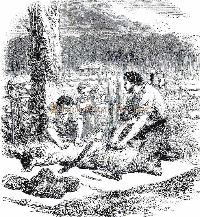 British imigrant family in Australia shearing their sheep for the first time.  Engraving c1850.