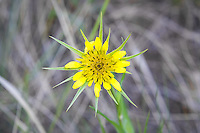 Yellow salsify is a non-native, European import and relative to chicory commonly found in the drier parts of the North America, excluding much of the American Southeast. This one was photographed near the banks of the Tieton River, just south of Naches, Washington.