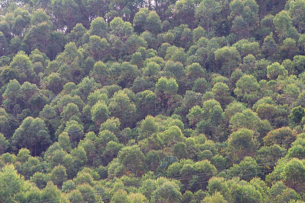 Santos Dumont_MG, Brasil...Plantacao de eucalipto em Santos Dumont...Eucalyptus plantation in Santos Dumont...Foto: LEO DRUMOND / NITRO