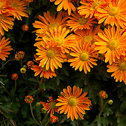 Yellow-red African daisies in a flower garden. Photo by Adel B. Korkor.