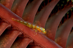 Bryaninops amplus, Gorgonien Zwerggrundel auf Seefeder, Whip Goby on Sea Pen, Bali, Indonesien, Indopazifik, Bali, Indonesia Asien, Indo-Pacific Ocean, Asia