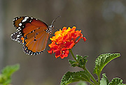 Plain Tiger (Danaus chrysippus) AKA African Monarch Butterfly on a flower shot in Israel, October