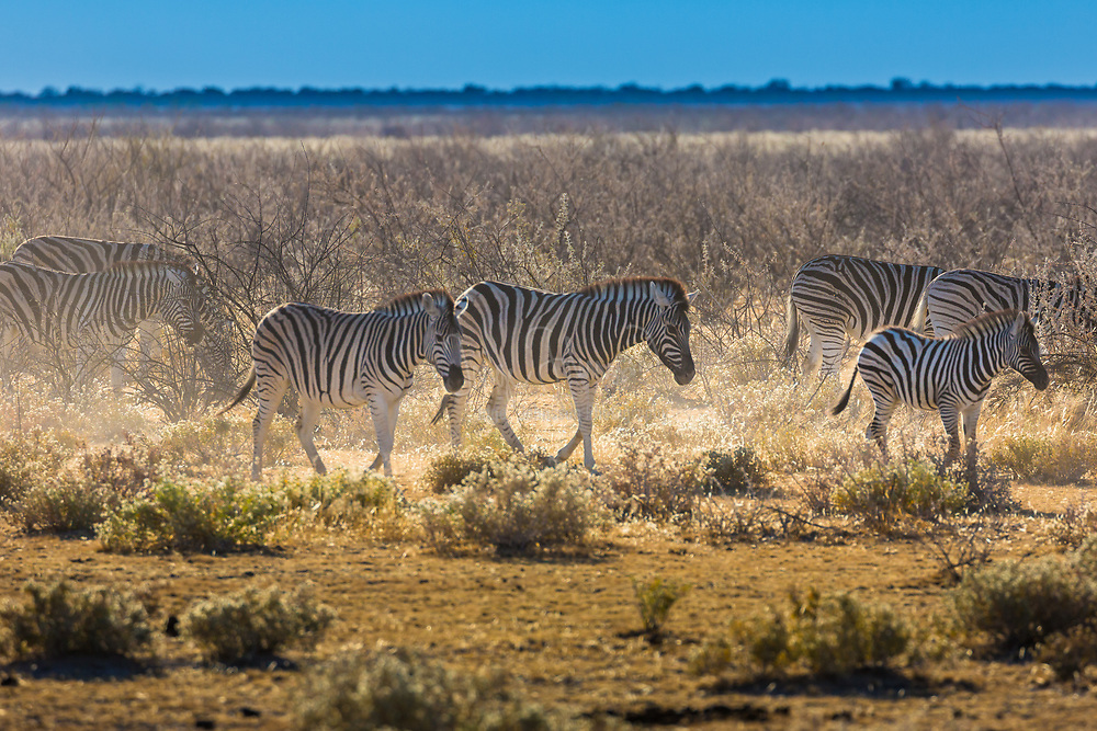Zebras are several species of African equids (horse family) united by their distinctive black and white striped coats. Their stripes come in different patterns, unique to each individual. They are generally social animals that live in small harems to large herds. Unlike their closest relatives the horses and donkeys, zebras have never been truly domesticated.<br /> <br /> There are three species of zebras: the plains zebra, the Grévy's zebra and the mountain zebra. The plains zebra and the mountain zebra belong to the subgenus Hippotigris, but Grévy's zebra is the sole species of subgenus Dolichohippus. The latter resembles an ass, to which it is closely related, while the former two are more horse-like. All three belong to the genus Equus, along with other living equids.<br /> <br /> The unique stripes of zebras make them one of the animals most familiar to people. They occur in a variety of habitats, such as grasslands, savannas, woodlands, thorny scrublands, mountains, and coastal hills. However, various anthropogenic factors have had a severe impact on zebra populations, in particular hunting for skins and habitat destruction. Grévy's zebra and the mountain zebra are endangered. While plains zebras are much more plentiful, one subspecies, the quagga, became extinct in the late 19th century – though there is currently a plan, called the Quagga Project, that aims to breed zebras that are phenotypically similar to the quagga in a process called breeding back.