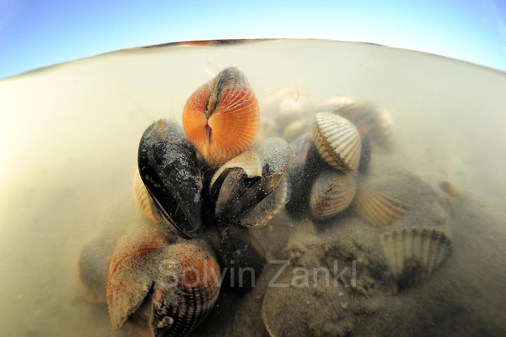 Herzmuschel (Cerastoderma edule) Nordsee