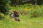 Bull moose in Alaska during early fall
