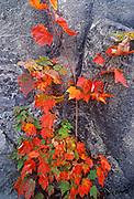 Red maple tree (Acer rubrum) and rock, Sudbury, Ontario, Canada
