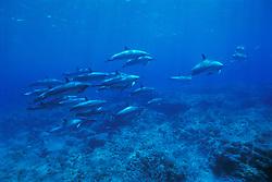 pod of long-snouted spinner dolphins, Stenella longirostris, off Kona Coast, Big Island, Hawaii, Pacific Ocean