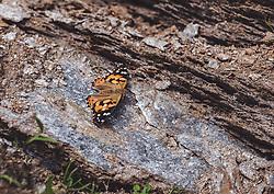 THEMENBILD - ein Distelfalter (Vanessa cardui, Syn.: Cynthia cardui) auf einem Stein waehrend einer Wanderung entlang des Wasserfallweges, aufgenommen am 28. Juli 2019 in Fusch a. d. Grossglocknerstrasse, Oesterreich // a thistel butterfly (Vanessa cardui, syn.: Cynthia cardui) on a stone iduring a hike along the waterfall trail in Fusch a. d. Grossglocknerstrasse, Austria on 2019/07/28. EXPA Pictures © 2019, PhotoCredit: EXPA/ JFKStefanie Oberhauser