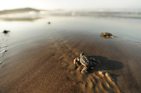 Soon the hatchling loggerhead sea turtles (Caretta caretta) will be safe from the ghost crabs and the fast growing heat of the rising morning sun.