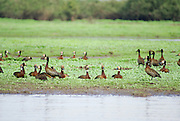 Tanzania wildlife safari White-faced Whistling Duck, Dendrocygna viduata
