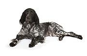 Large Musterlander Dog, Laying down, studio, white background