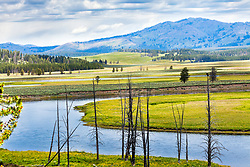 A bald eagle watches for a cutthroat trout to rise to the surface in the Yellowstone River below, while Yellowstone's Hayden Valley is aglow with the dandelion bloom of early summer.