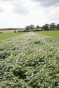 Rows of flowering potato potatoes growing in a field Suffolk, England, UK purple pink flowers blossom