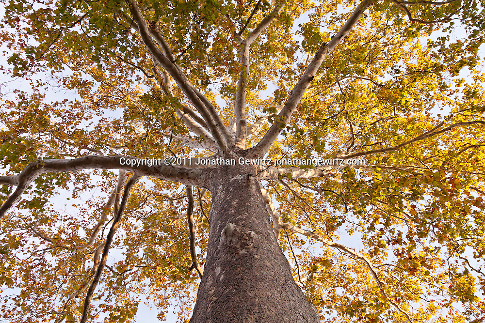 View up the trunk of a tall sycamore tree. WATERMARKS WILL NOT APPEAR ON PRINTS OR LICENSED IMAGES.