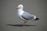 Side view of a gull walking on a sandy beach.