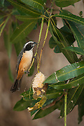 Orinocan Saltator (Saltator orenocensis)<br /> Orinoco River, north of Puerto Ayacucho. Apure Province, VENEZUELA/COLOMBIA border. South America.<br /> RANGE: Tropical Zones of Orinoco region in Venezuela & Colombia<br /> where there forage for fruit and blooms.