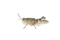 Grasshopper nymph, sp.