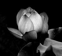 Beautiful lotus bud preparing to bloom.