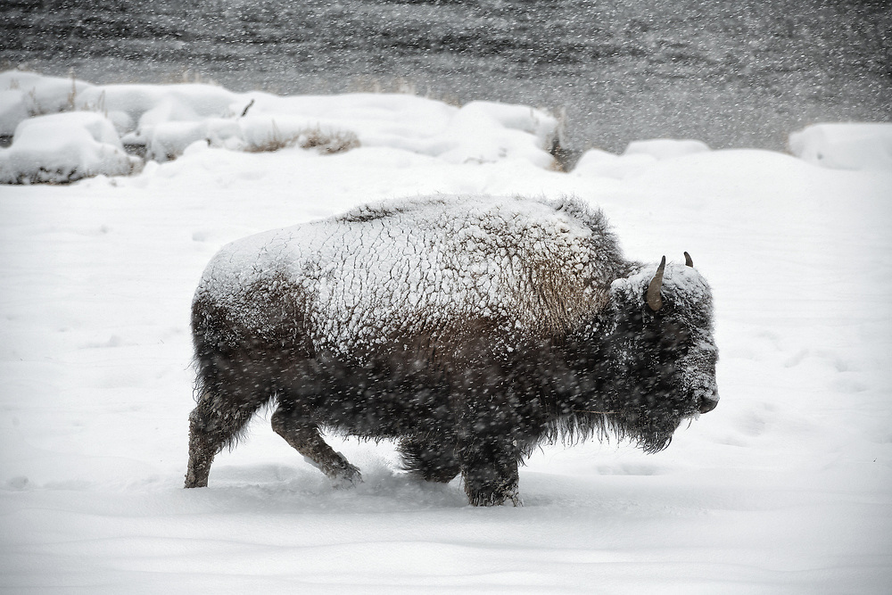 A bison moves along looking for grass beneath the snow during a February snowstorm in Yellowstone.