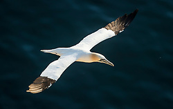 A Gannets at the RSPB nature reserve at Bempton Cliffs in Yorkshire, as over 250,000 seabirds flock to the chalk cliffs to find a mate and raise their young.