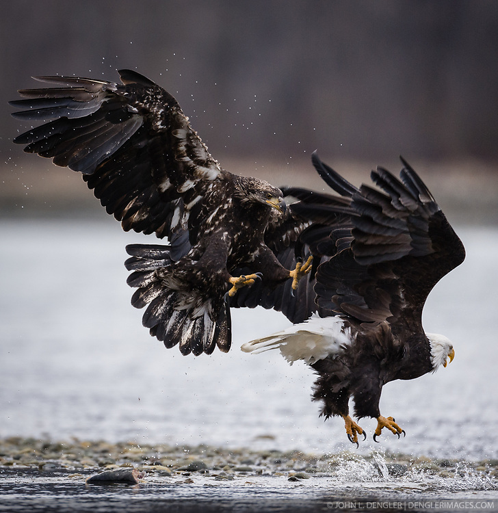A juvenile bald eagle (Haliaeetus leucocephalus) chases off a bald eagle from the salmon it was eating on the banks of the Chilkat River in the Alaska Chilkat Bald Eagle Preserve near Haines, Alaska.During late fall, bald eagles congregate along the Chilkat River to feed on salmon. This gathering of bald eagles in the Alaska Chilkat Bald Eagle Preserve is believed to be one of the largest gatherings of bald eagles in the world.