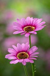 Argyranthemum 'Grandaisy Pink Halo'. Marguerite