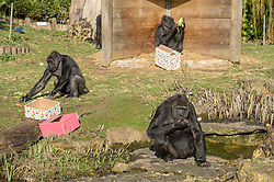 "© Licensed to London News Pictures. 11/02/2020. Bristol, UK. GV of Western Lowland Gorillas at Bristol Zoo as the zoo marks the fourth birthday of Western Lowland Gorilla ""Afia"" whose birthday is tomorrow, 12 February. Afia was born by caesarean section when her mother Kera got pre-eclampsia, and then Afia was hand reared for months by zoo keepers before being reintroduced back into the troupe. She was then adopted by the matriarch Romina who has since died, but Afia is settled with the group. Photo credit: Simon Chapman/LNP."