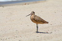 Large for a sandpiper, and one of the four species of godwits in the world, the marbled godwit is the biggest. This beautiful cinnamon-mottled shorebird breeds in the central North America's Great Plains (Alberta, the Dakotas, Montana, Minnesota and Nebraska) and travels to the coasts to winter where it can be found along the Atlantic Ocean, Pacific Ocean and the Gulf of Mexico. Mostly associated with marshes, mudflats and sand flats, these uncommon shorebirds can sometimes be seen on the beach, such as this one along with several others in Los Angeles, California near the Del Rey Lagoon.