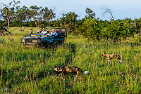 Safari vehicle watching a pack of African Wild Dogs on the move through the bush, Kwando Concession, Linyanti Marshes, Botswana.
