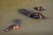 Hippos bathing in river, Masai Mara, Kenya