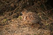 Grey partridge (Perdix perdix)<br /> Bharatpur National Park <br /> Rajasthan, India