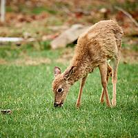 20180419-deer
