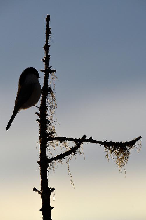Willow tit, Passer or Poecile montanus sitting on a tree in Kalvtrask, Vasterbotten, Sweden