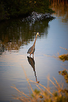 Late Afternoon Great Blue Heron Hunting.  Black Point Wildlife Road, Merritt Island Wildlife Refuge, Florida. Image taken with a Nikon D3s and 200-400 mm f/4 VR lens (ISO 200, 200 mm, f/4, 1/400 sec).