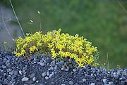 Euroasia wild flower