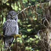 Great Gray Owl, (Strix nebulosa) Adult perched on dead snag at edge of mountain meadow, hunting. Montana.