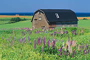 Barn and lupines<br />
