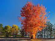 Sugar Maple tree in autumn color<br /> Batchewana Bay Provincial Park<br /> Ontario<br /> Canada