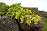 A Zibibbo grape vine (also known as Moscato di Alessandria or Muscat of Alexandria) grows across a volcanic rock wall on the island of Pantelleria, Sicily.