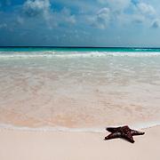 A sea star on the edge of the ocean. Cushion sea star on a pink sand beach in the Bahamas