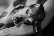 SHOT 2/21/17 2:33:18 PM - Tanner, a 12 year-old male Vizsla, cuddles with his mom Margaret Ebeling in Denver, Co. The Vizsla, is a dog breed originating in Hungary. The Hungarian or Magyar Vizsla represents one of the best in sporting dogs and loyal companions and has a strong claim to being one of the smallest of the all-round pointer-retriever breeds. The Vizsla's size is one of the breed's most attractive characteristics and through the centuries he has held a unique position for a sporting dog -- that of household companion and family dog. The Vizsla is a natural hunter endowed with a good nose and an above average trainability. Although they are lively, gentle mannered, demonstrably affectionate and sensitive, they are also fearless and possessed of a well-developed protective instinct.<br /> (Photo by Marc Piscotty / © 2017)