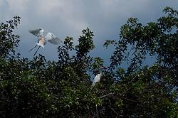 Cattle Egrets (Bubulcus ibis), Blue Cypress Lake, Vero Beach, Florida, US