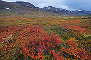 The red leaves of the alpine bearberry, mountain bearberry, or black bearberry, Arctostaphylos or Arctuo alpinus, and the orange leaves of Dwarf birch , Betula nana, Kaarsavagge, Abisko National Park, Norrbotten, Lapland, Sweden