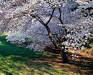 Cherry Blossoms, New York Botanical Gardens, Bronx, New York