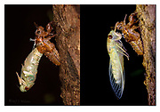 A large cicada moulting during night in the rainforest of Tanjung Puting National Park, Borneo. There is a 64 minutes time difference between the two photos. Nikon D850, 105mm micronikkor, f10, 1/200sec, ISO500, 3 x SB2000 macroflash, Maual modus