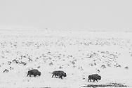 Three bison walk in a snowstorm in Yellowstone's Hayden Valley